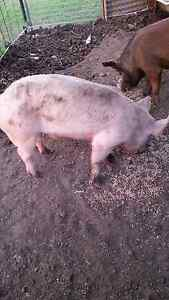 Boar pig for sale Ipswich Ipswich City Preview