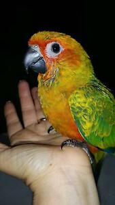 Hand raised Sunday conures Belair Mitcham Area Preview