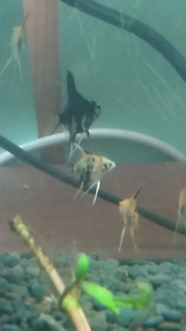 Angelfish babies Meadow Heights Hume Area Preview