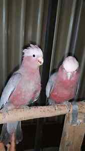 New Season's, Hand-Tamed, Friendly Baby Galahs for Sale. Roxburgh Park Hume Area Preview