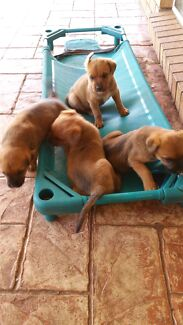 Rottweiler x bullmstiff puppies for sale Hillcrest Logan Area Preview