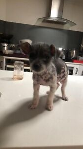 Chinese crested pup