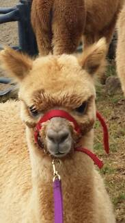 Alpacas available from Reputable Breeder at clear out prices Mittagong Bowral Area Preview