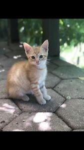Adorable Ginger Male Kitten