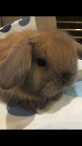 PURE BABY MINI LOPs with cashmere AND PURE TINY BABY Netherlands :)) Burnside Melton Area Preview