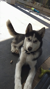 Husky 4 months old all paper work Roxburgh Park Hume Area Preview