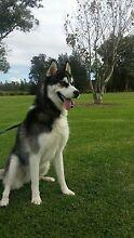 Siberian husky Blackalls Park Lake Macquarie Area Preview