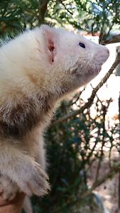 Ferret kit black eyed white Stoneville Mundaring Area Preview