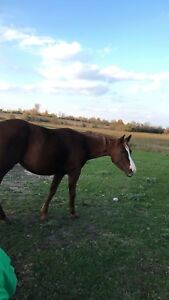 Rescue chestnut mare for sale!