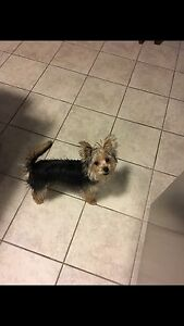 Morkie 10 month old male