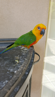 Jenday conure pet bird with cage