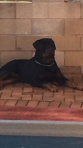 Rottweiler nsw membership 210008804