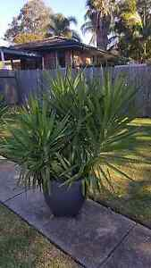 Yakkas Plants Bidwill Blacktown Area Preview