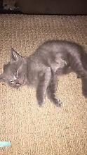 2 lovely grey kittens Kallangur Pine Rivers Area Preview