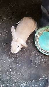 Brown female rabbit $20 Revesby Bankstown Area Preview