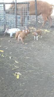 PIGLETS FOR SALE Cooktown Cook Area Preview