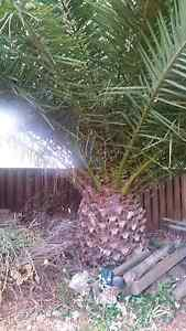 For free: Massive Palm/Cycad Milperra Bankstown Area Preview