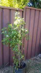 Climber Plant Potted. Casula Liverpool Area Preview