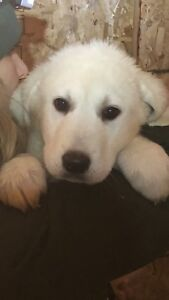 Great Pyrenees cross Maremma Puppies. All Girls! Delivery.