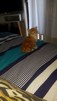 8 week old male ginger
