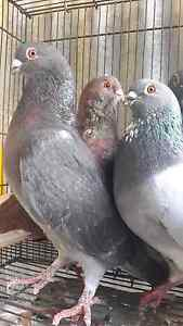 Egyptian swifts pigeons excellent quality birds Silverwater Auburn Area Preview