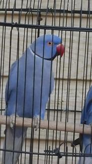 Pair indian ringneck parrot