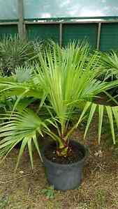 Chinese Wind Palms Melton Melton Area Preview