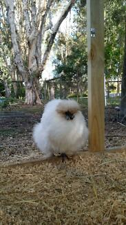 Chicken- Silkie Elimbah Caboolture Area Preview