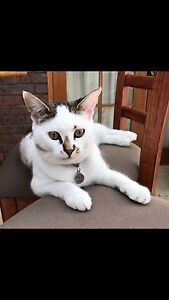 LOST CAT! PLEASE HELP! Port Adelaide Port Adelaide Area Preview
