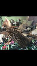 Aziz Cattery Bengal Jerrys Plains Singleton Area Preview