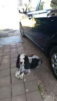 For sale Cocker Spaniel x Aussie Terrier puppies Tarome Ipswich South Preview