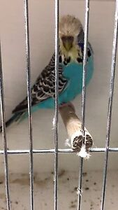 English budgies club rung Coolaroo Hume Area Preview