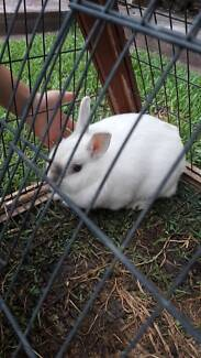 Mid dwarf rabbit and cage