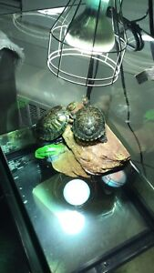 2 Turtles with tank including accessories for sale