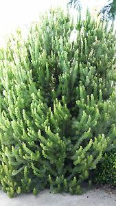 10-Woolly-Bush-Garden-Plants-Hedging