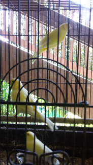 Yellow canaries for sale.