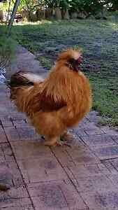 Wanted buff bearded silkie rooster Huntingdale Gosnells Area Preview