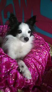 Bella- little legs Dog & cat rescue Wynnum West Brisbane South East Preview