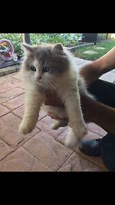 Ragdoll x Persian Chinchilla Kitten Mount Annan Camden Area Preview