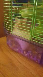 Teddy bear hamster for sale $35-50