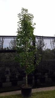 Ornamental Pear Trees - Cleveland select/Chanticleer @2.3 metres