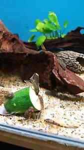 Marble and common longfin bristlenose Lobethal Adelaide Hills Preview