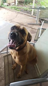 Bull Mastiff X - Free dog Panania Bankstown Area Preview