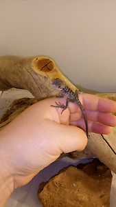 Eastern water dragon hatchlings $40 each Elizabeth Downs Playford Area Preview