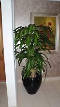 Dracaena  Massengina / Happy Plant / Chinese Money Tree St Clair Penrith Area Preview