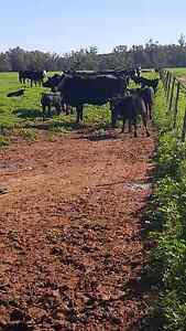 10x10 Angus and Angus Cross cows and calves Narromine Narromine Area Preview