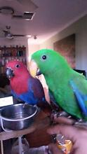 Hand Reared Fem & Male Ecelectus Parrots - Currently Being Reared Para Vista Salisbury Area Preview