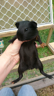 Baby boy male black guinea pig. Ginger foot.