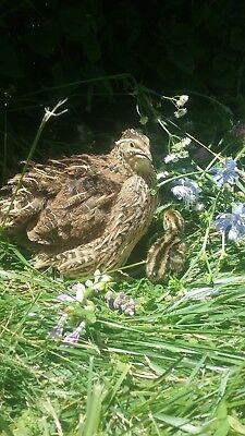 50 Jumbo Wild Corurnix Hatching Eggs By Myshire. Avg Size 6wks11oz 10w14oz