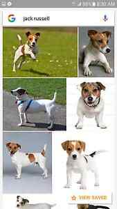 Wanted female Jack russell Scottsdale Dorset Area Preview